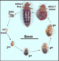 bed bugs health topics contra costa health services